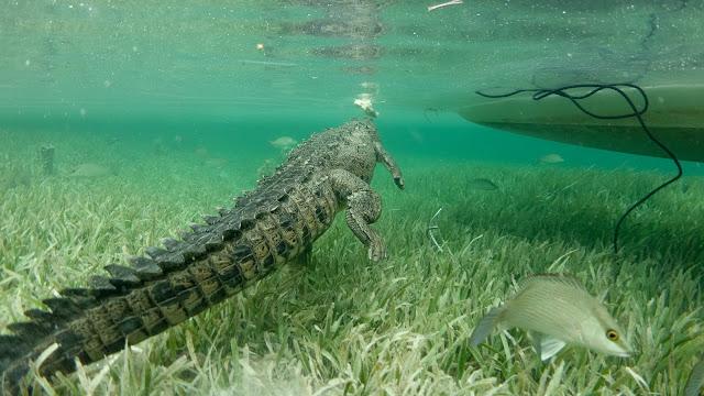Watching crocodile underwater