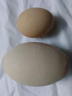 telur besar baru pertama kali dilihat