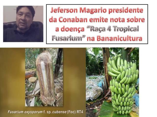 Jeferson Magario presidente da Conaban emite nota sobre a doença Raça 4 Tropical Fusarium na Bananicultura