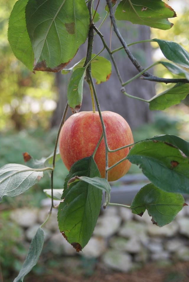 Reifer Apfel am Baum im Oktober