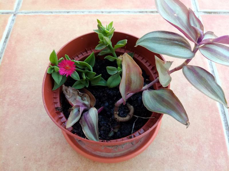 Aptenia cordifolia appena piantata