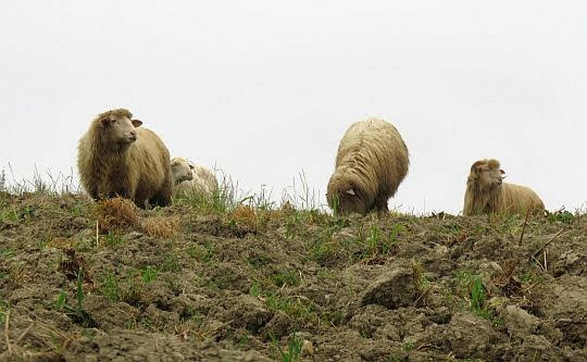 Owce.