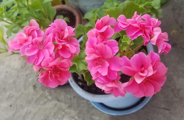 мои 92 дня лета, розовая герань - красавица