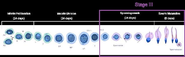Fase akhir spermatogenesis yang berlangsung di testis selama 24 hari, serta 8 hari proses maturasi agar badan dan ekor sperma terbentuk sempurna.