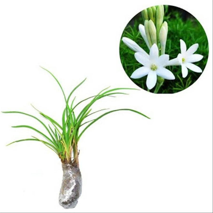 Tanaman Hias bunga Sedap Malam Kalimantan Barat