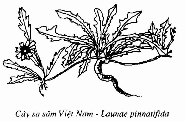 HÌNH VẼ SA SÂM VIỆT NAM - Launaea pinnatifida - Nguyên liệu làm Thuốc Bổ, Thuốc Bồi Dưỡng