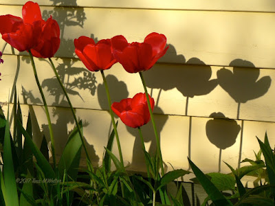 Red tulips with beautiful shadows cast on a yellow house. Perfect sunset light. ©2017 Tina M.Welter