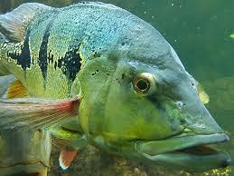 Mengenal Ikan Peacock Bass, Ikan Hias Predator Yang Memiliki Banyak Jenis