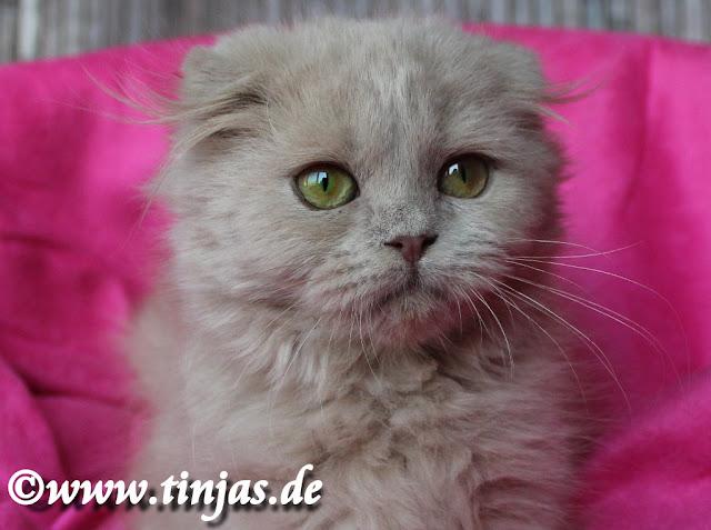 tinjas Katzenzucht Highland Fold fawn Katzenbaby 3 Monate