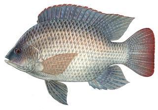 Kandungan Ikan Nila - Gambar dan klasifikasi