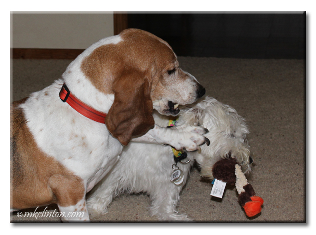 Bentley Basset Hound is trying to get his rooster back from Pierre Westie