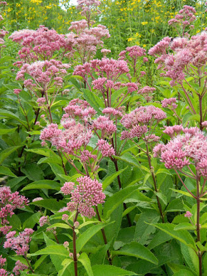 Eutrochium purpureum Joe Pye Weed  at Toronto Botanical Garden by garden muses-not another Toronto gardening blog