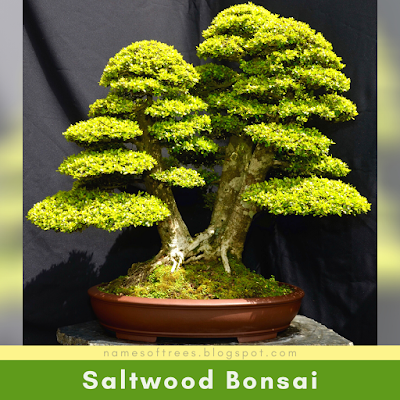 Saltwood Bonsai
