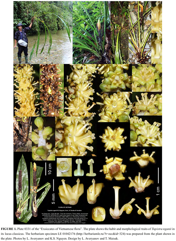 Tupistra Nganii Asparagaceae A New Species With Greenish Yellow Flowers From Northern Vietnam And Southwestern China