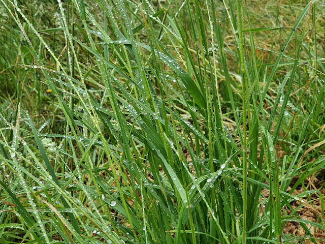 dewy-grass