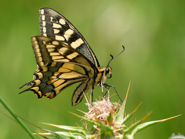 Swallowtail on Thorns