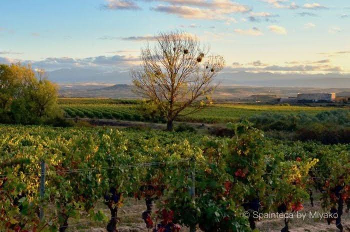 夕暮れどきの葡萄畑の景色