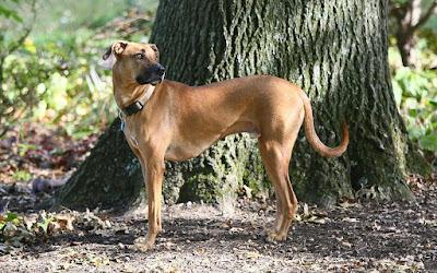 Black mouth cur beagle mix Temperament, Size, Adoption, Lifespan, Price