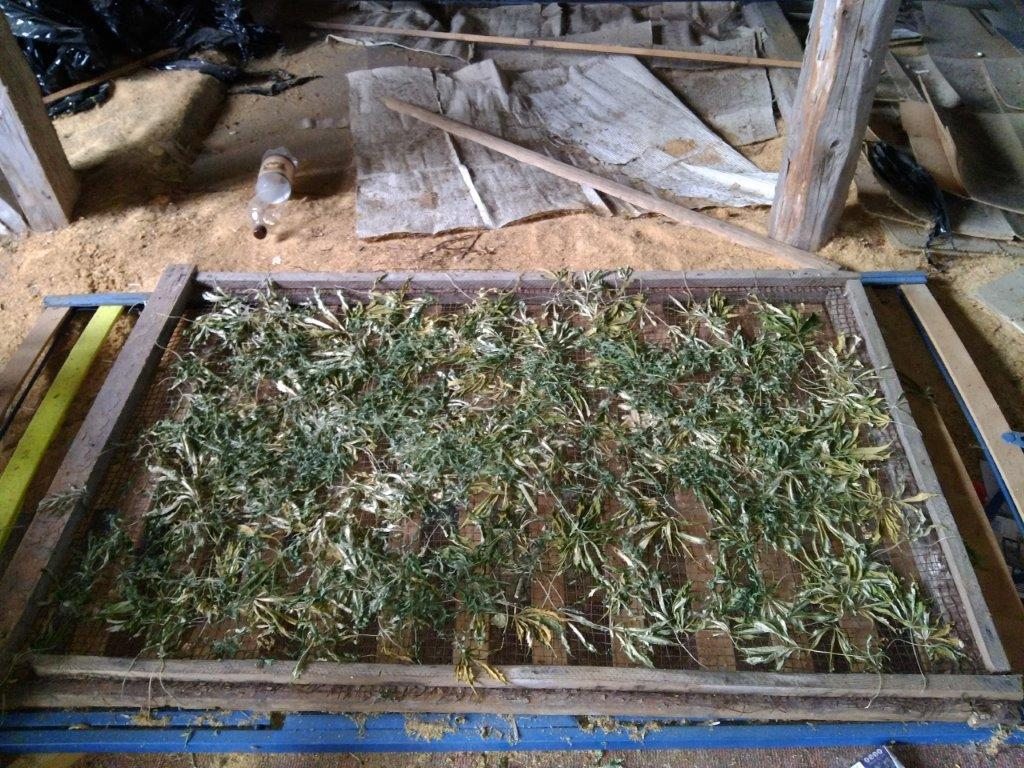 Dobeles policisti likvidē divas marihuānas audzētavas
