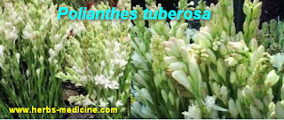 Insomnia use Polianthes tuberosa