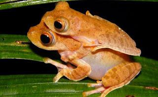 Rhacophorus indonesiensis, katak pohon, katak sumatera, katak