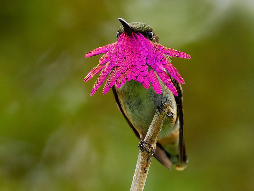 Wine-Throated Hummingbird-1