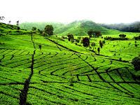 Rancabali Tea Valley Tawarkan Pesona Paduan Hutan Hujan Tropis dan Hamparan Kebun Teh