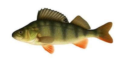 biban pește de rîu