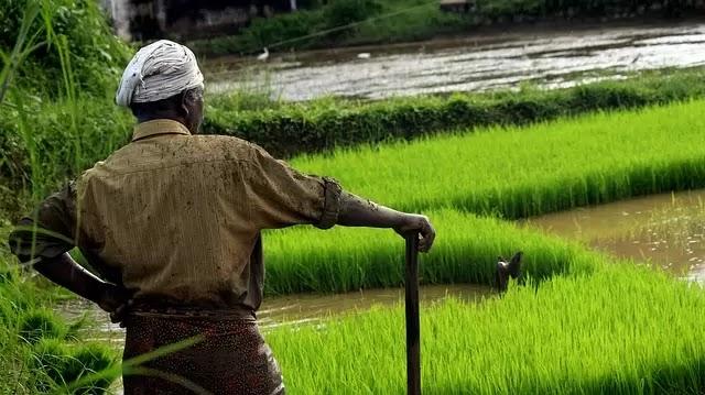 Rice Farming in Nigeria (Beginners Guide)