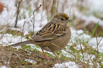 Photo of Golden-crowned Sparrow on ground in snow