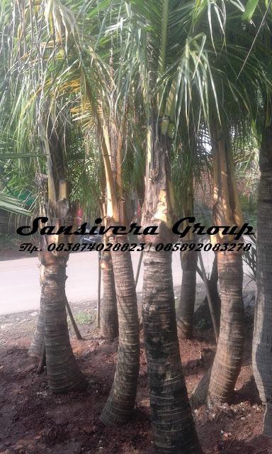 Tanaman-kelapa-kuning