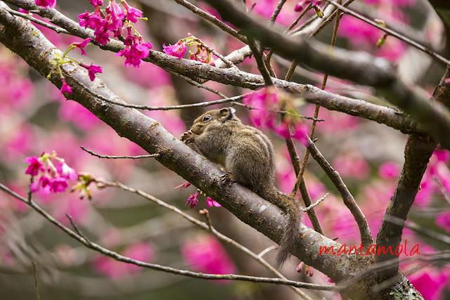 Maritime striped squirrel