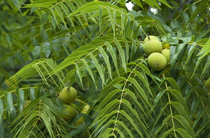 how to look after a walnut tree