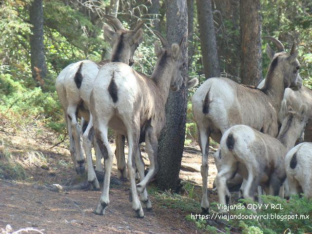 Lago Minnewanka. Banff. Montañas Rocosas Canadienses. fauna y vida silvestre