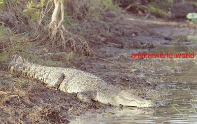 تمساح الماء المالح
