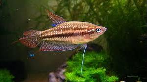 Pygmy Gourami, Ikan hias air tawar terindah Pygmy Gourami ikan hias