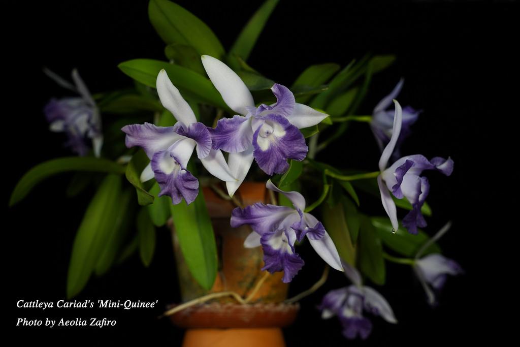 Cattleya Cariad S Mini Quinee Care And Culture Travaldo S Blog