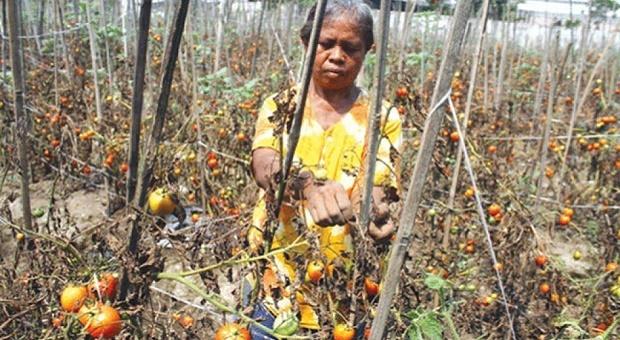 30 Hektar Lahan Tanaman Tomat Ditelantarkan
