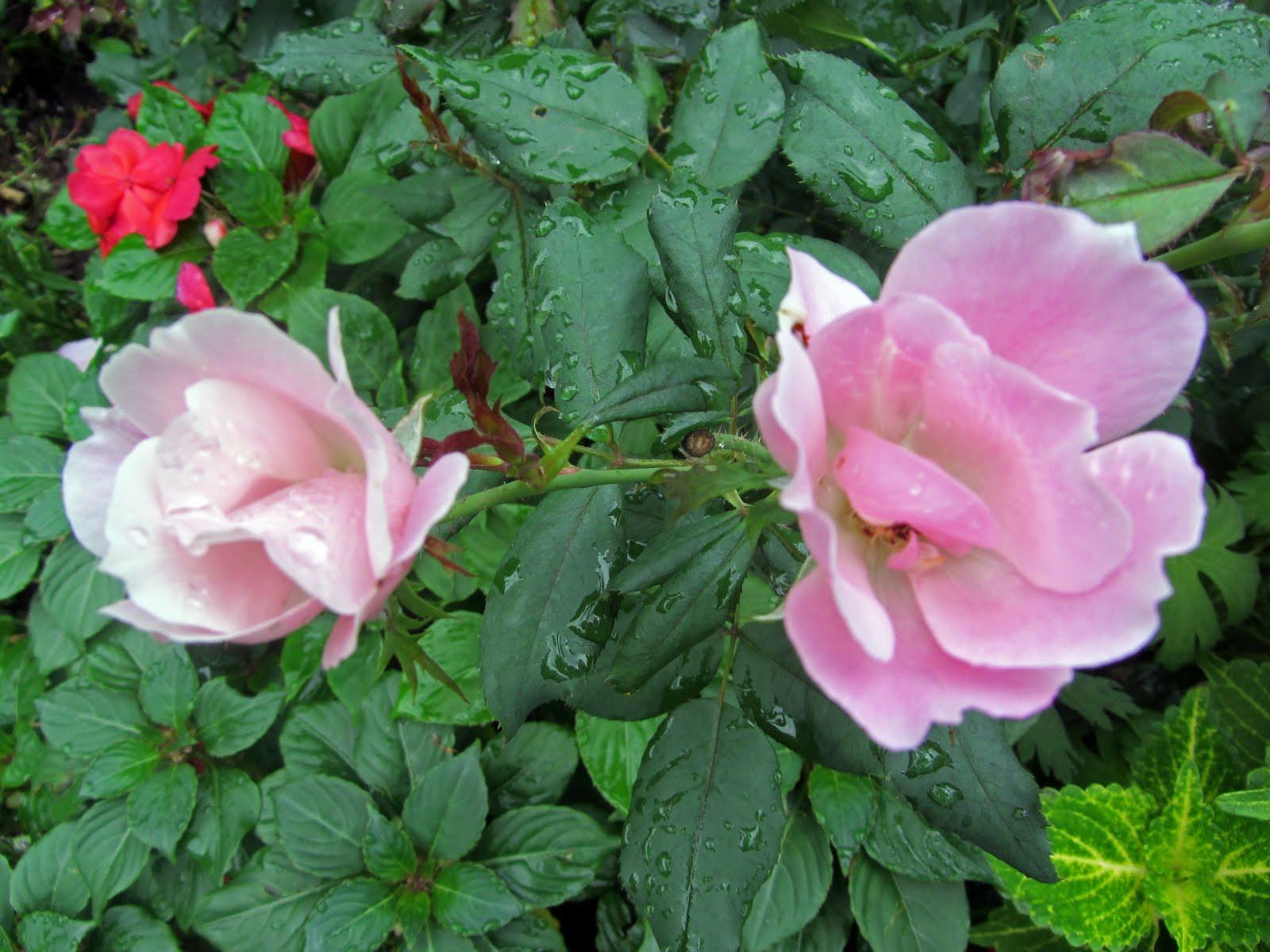 Roses In Garden: Gatsbys Gardens: A Summer Report Card
