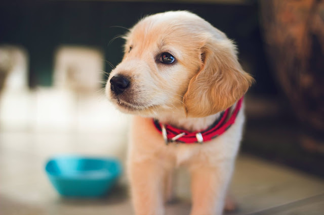 A golden retriever puppy looking to the left with a blue bowl nearby