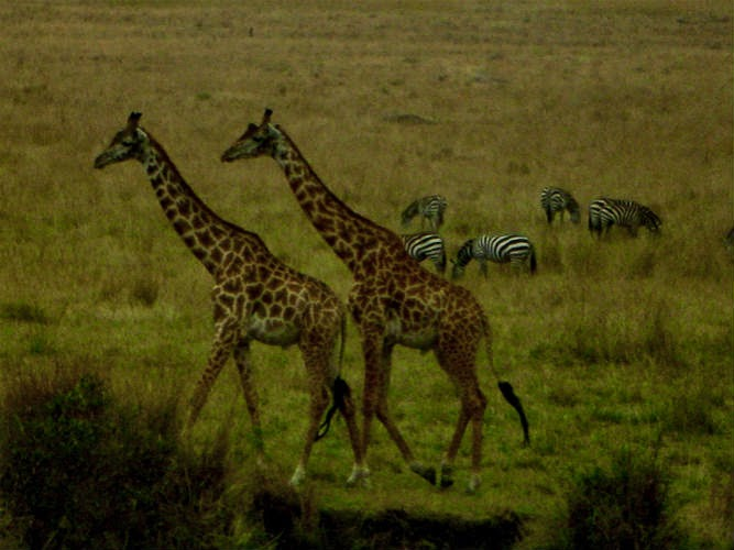 Budget Safari in Kenya