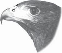gambar Bentuk Paruh Burung Elang