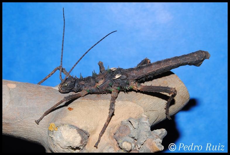 Ninfa macho L5 de Haaniella dehaani, 6,2 cm de longitud