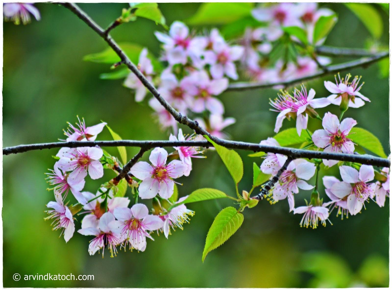 Paja Tree Flowers, Pink Flowers, Tree Flowers