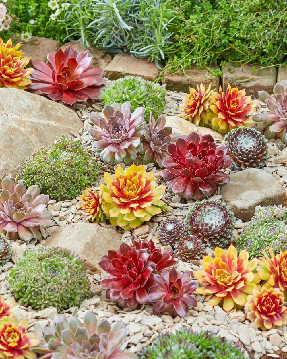 Suculentas siemprevivas Sempervivum follaje de diferentes colores en jardin de rocas