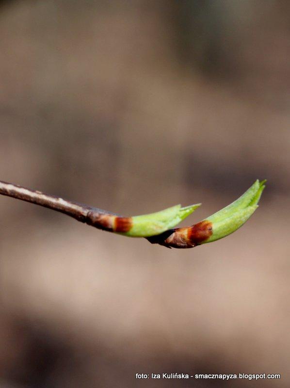 paki na drzewie, galazka z paczkami, wiosna, pierwsze listki, las, drzewa
