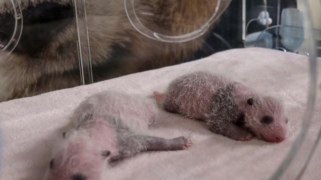 Panda Hua Zuiba Lahirkan Bayi Kembar di Kebun Binatang Madrid.lelemuku.com.jpg