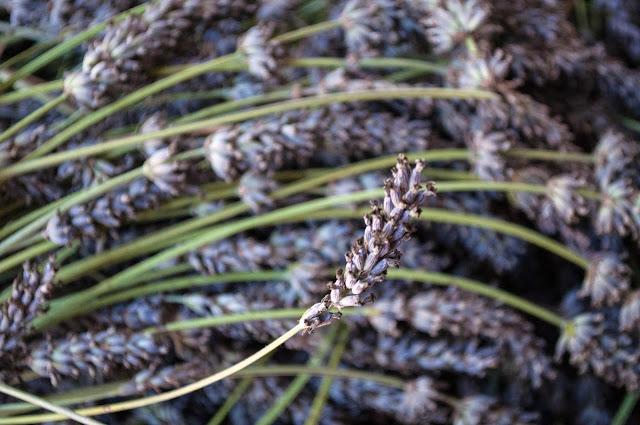 Fresh Organic Lavender Ready for Distillation at Pelindaba Lavender Farm