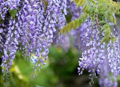 Selama mekar, wisteria menghasilkan aroma yang menyenangkan dan manis.