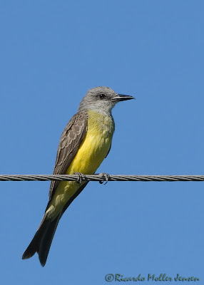 pampas kingbird
